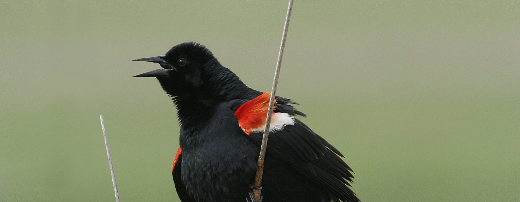 photo of a tri-colored blackbird from Wind Wolves Preserve