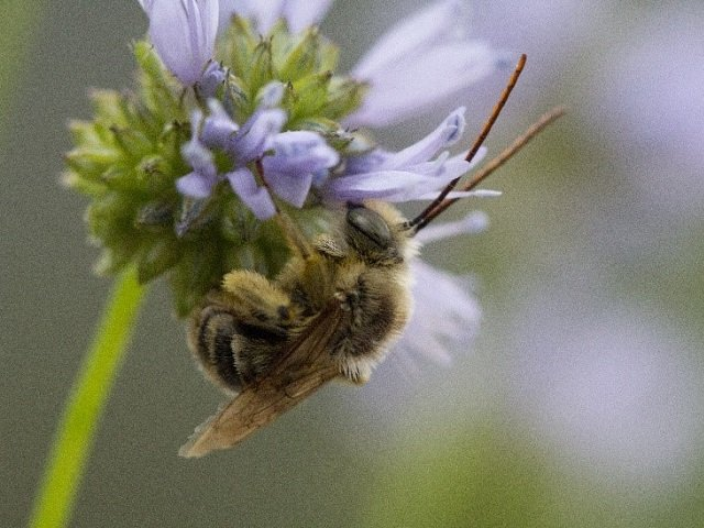 photo of a native longhorn bee on a wildflower