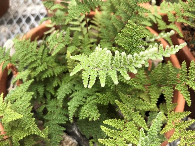 photo of Coville's lipfern (Myriopteris covillei)