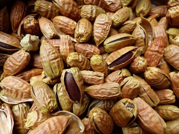 photo of Jojoba seeds