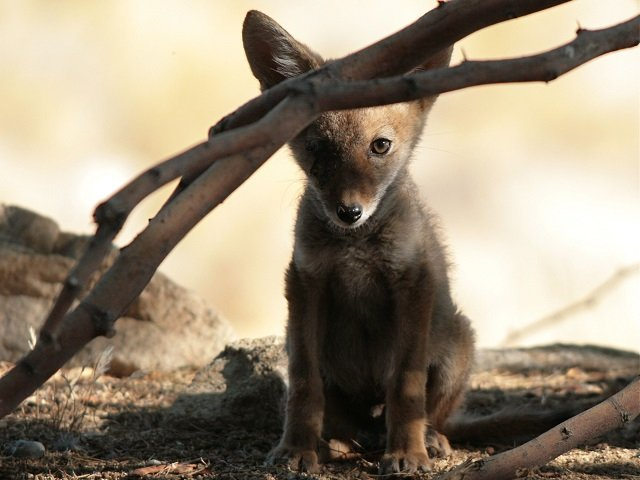 photo of a coyote pup