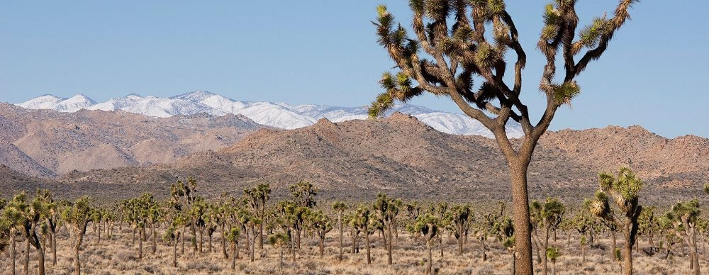 photo of Joshua trees and snow-capped mountains