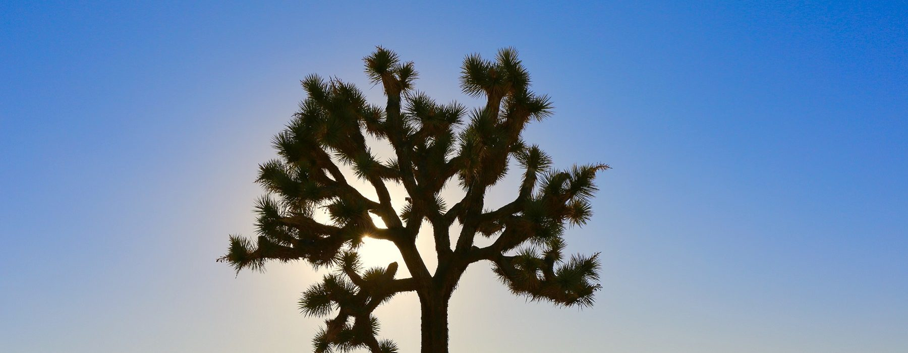 photo of a Joshua tree from Juniper Canyone Preserve