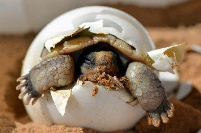 photo of a desert tortoise hatchling